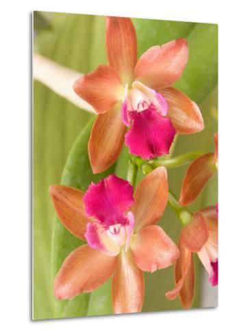 Orchid Blooms in the Spring, Thailand-Gavriel Jecan-Metal Print