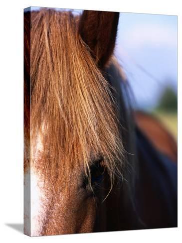Portrait of Horse, Near Kragelund, Denmark-Holger Leue-Stretched Canvas Print