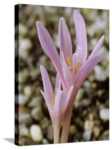 Colchicum Corsicum, October-Chris Burrows-Stretched Canvas Print