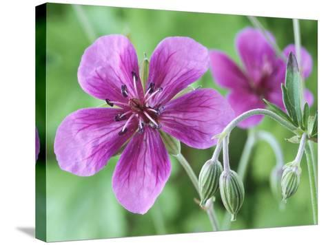 Cranesbill, Close-up of Purple Flowers and Buds-Chris Burrows-Stretched Canvas Print