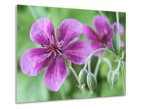 Cranesbill, Close-up of Purple Flowers and Buds-Chris Burrows-Metal Print