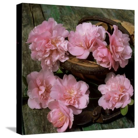 Pale Pink Camellia Flowers with Small Garden Trug and Secateurs on Rustic Table-James Guilliam-Stretched Canvas Print