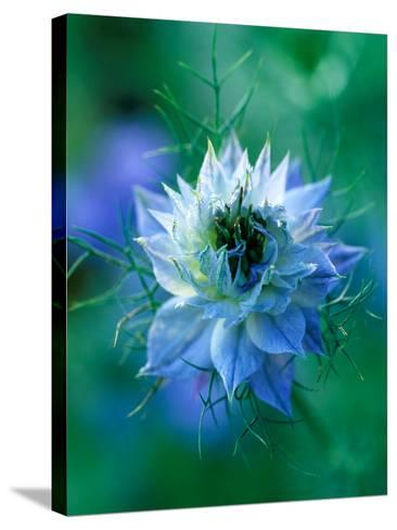 Nigella Damascena (Love-In-A-Mist), Close-up of Blue Annual Flower-Lynn Keddie-Stretched Canvas Print