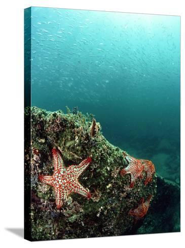 Starfish, and Sardine Panorama, Mexico-Tobias Bernhard-Stretched Canvas Print
