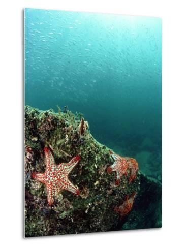 Starfish, and Sardine Panorama, Mexico-Tobias Bernhard-Metal Print