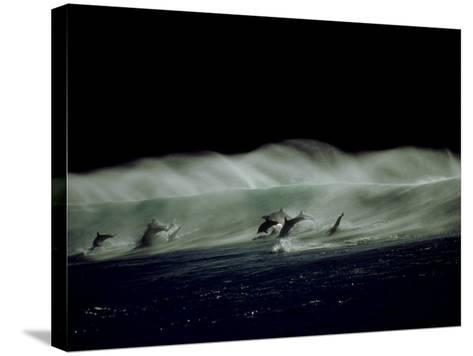 Bottlenose Dolphins, Jumping, South Africa-Tobias Bernhard-Stretched Canvas Print