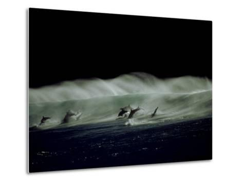 Bottlenose Dolphins, Jumping, South Africa-Tobias Bernhard-Metal Print