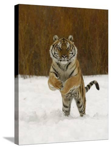 Tiger Adult Running Through Snow, Winter-Daniel J. Cox-Stretched Canvas Print