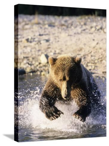 Alaskan Brown Bear, Large Male Catching Salmon in Water, Alaska-Daniel J. Cox-Stretched Canvas Print