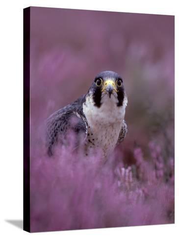 Peregrine Falcon, Falco Peregrinus Male Amongst Heather-Mark Hamblin-Stretched Canvas Print