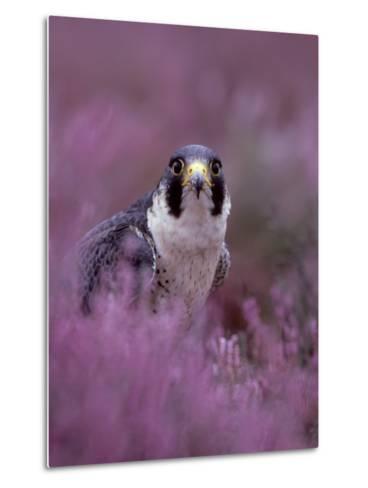 Peregrine Falcon, Falco Peregrinus Male Amongst Heather-Mark Hamblin-Metal Print