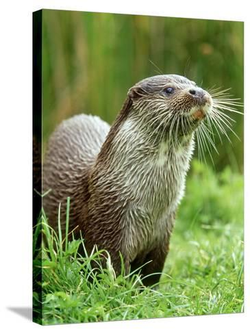 European Otterlutra Lutraclose-Up Portraiton Riverbank-Mark Hamblin-Stretched Canvas Print