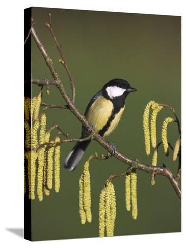 Great Tit, Perched on Hazel Catkins, UK-Mark Hamblin-Stretched Canvas Print