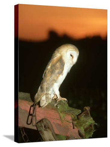 Barn Owl, Perched on Plough at Sunset-Mark Hamblin-Stretched Canvas Print