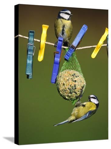 Blue Tits, Feeding on Feeder-Mark Hamblin-Stretched Canvas Print