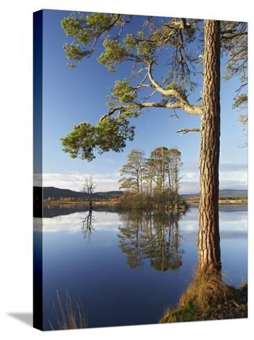 Island of Scots Pines Reflected in Loch Mallachie, Scotland-Mark Hamblin-Stretched Canvas Print