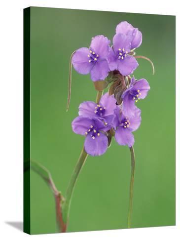 Prairie Spiderwort, Tradescantia Occidentalis, Texas Hill Country USA-Adam Jones-Stretched Canvas Print
