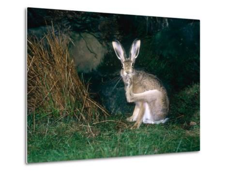 Brown Hare, Grooming, UK-Mary Plage-Metal Print