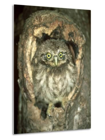 Little Owl, Juvenile, England-Les Stocker-Metal Print