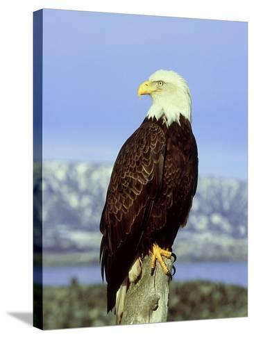 Bald Eagle on Post, USA-David Tipling-Stretched Canvas Print