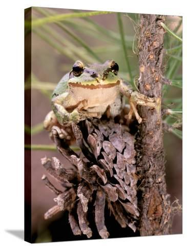 Pacific Tree Frog, Umatilla National Forest, Oregon, USA-Gavriel Jecan-Stretched Canvas Print