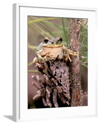Pacific Tree Frog, Umatilla National Forest, Oregon, USA-Gavriel Jecan-Framed Art Print