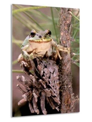 Pacific Tree Frog, Umatilla National Forest, Oregon, USA-Gavriel Jecan-Metal Print