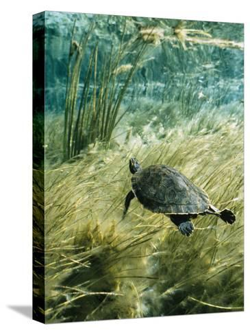 Rare Suwannee Cooter Turtle Swims through Clear Florida Waters-Bill Curtsinger-Stretched Canvas Print