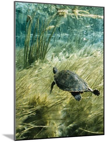 Rare Suwannee Cooter Turtle Swims through Clear Florida Waters-Bill Curtsinger-Mounted Photographic Print