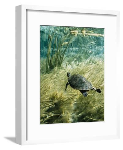 Rare Suwannee Cooter Turtle Swims through Clear Florida Waters-Bill Curtsinger-Framed Art Print