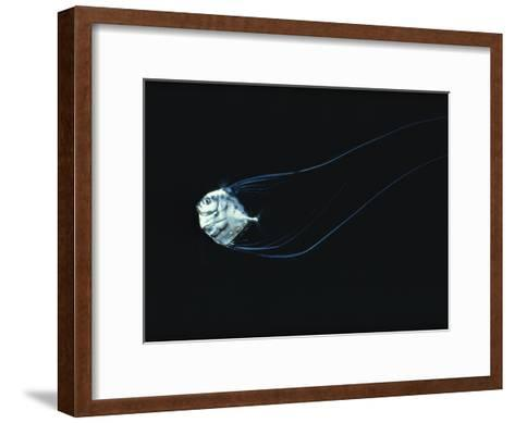Three-Inch Baby African Pompano Navigates Through the Night Seas off the Hawaiian Islands-Bill Curtsinger-Framed Art Print