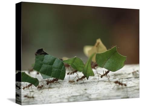 Leaf-Cutter Ants near Sao Gabriel, Amazon River Basin, Brazil-James P^ Blair-Stretched Canvas Print