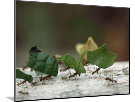 Leaf-Cutter Ants near Sao Gabriel, Amazon River Basin, Brazil-James P^ Blair-Mounted Photographic Print