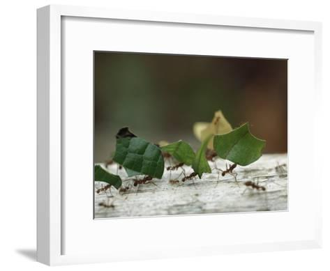 Leaf-Cutter Ants near Sao Gabriel, Amazon River Basin, Brazil-James P^ Blair-Framed Art Print