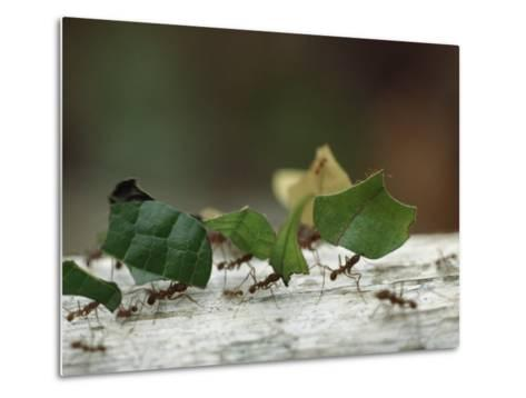 Leaf-Cutter Ants near Sao Gabriel, Amazon River Basin, Brazil-James P^ Blair-Metal Print