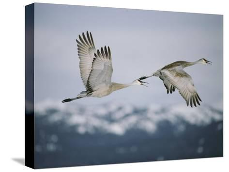 Pair of Sandhill Cranes in Flight, with Wings in Opposite Positions, Island Park, Idaho-Michael S^ Quinton-Stretched Canvas Print