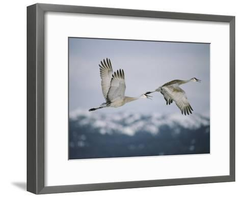 Pair of Sandhill Cranes in Flight, with Wings in Opposite Positions, Island Park, Idaho-Michael S^ Quinton-Framed Art Print