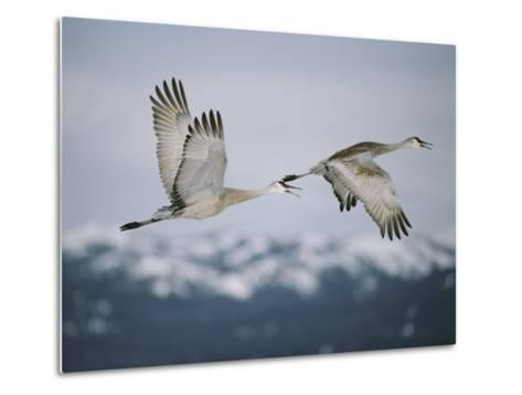 Pair of Sandhill Cranes in Flight, with Wings in Opposite Positions, Island Park, Idaho-Michael S^ Quinton-Metal Print