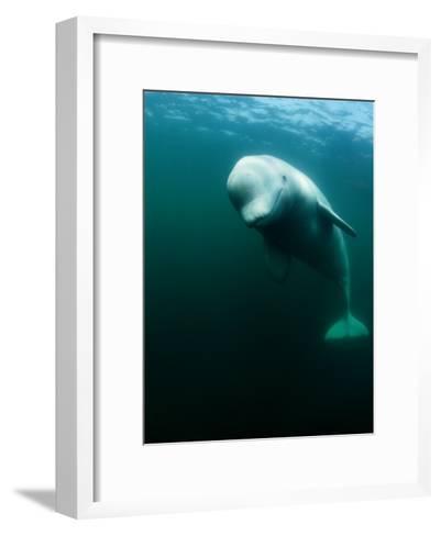 Beluga Whale, St. Lawrence River-Nick Caloyianis-Framed Art Print