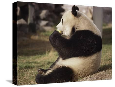 Panda Bear Sitting and Eating, Tianjin, China-Todd Gipstein-Stretched Canvas Print