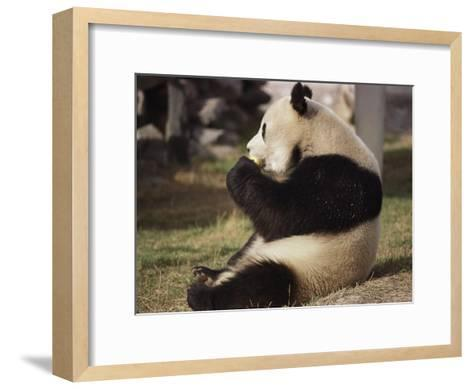 Panda Bear Sitting and Eating, Tianjin, China-Todd Gipstein-Framed Art Print