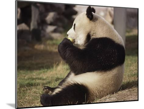 Panda Bear Sitting and Eating, Tianjin, China-Todd Gipstein-Mounted Photographic Print