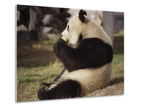 Panda Bear Sitting and Eating, Tianjin, China-Todd Gipstein-Metal Print