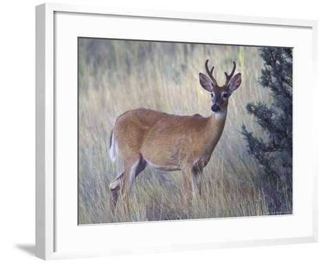 White-Tail Deer Buck, National Bison Range, Montana, USA-Darrell Gulin-Framed Art Print