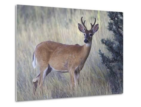 White-Tail Deer Buck, National Bison Range, Montana, USA-Darrell Gulin-Metal Print