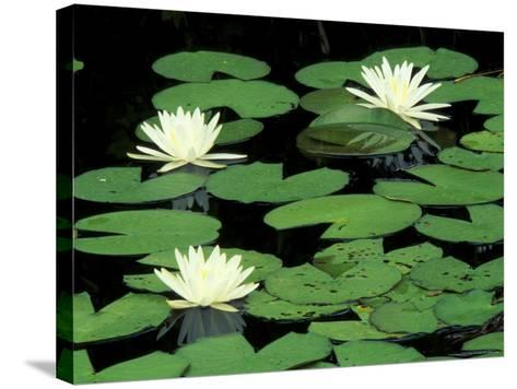 Fragrant Water Lilys, Green Swamp Ecological Reserve, North Carolina, USA-Adam Jones-Stretched Canvas Print