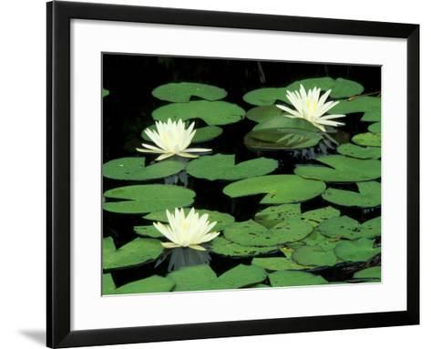 Fragrant Water Lilys, Green Swamp Ecological Reserve, North Carolina, USA-Adam Jones-Framed Art Print