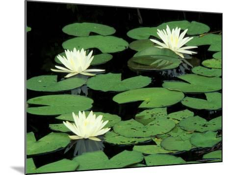 Fragrant Water Lilys, Green Swamp Ecological Reserve, North Carolina, USA-Adam Jones-Mounted Photographic Print