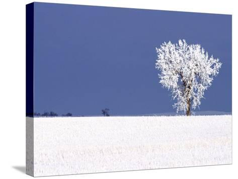 Hoar Frost Covers Tree, North Dakota, USA-Chuck Haney-Stretched Canvas Print