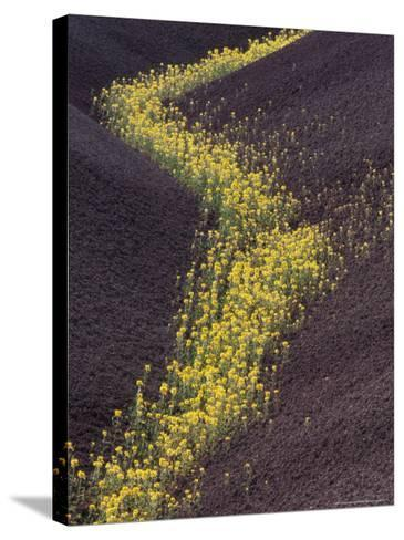 Yellow Flowers Follow Streambed in Painted Hills National Monument, Oregon, USA-Darrell Gulin-Stretched Canvas Print